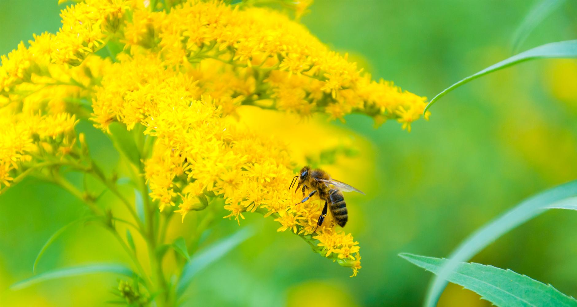 Nyárvégi mézelő növény a szolidágó vagy más néven aranyvessző!